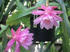 Epiphyllum - Mormor | por epiforums
