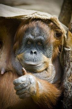 'Thumbs up I'm voted the King of the Jungle!' - Orangutan