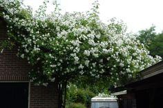 Deze rozen zocht ik al zolang, de naam is Bobby James dus... Leuk voor over het schuurtje in de tuin..