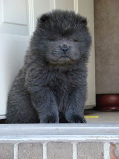 Blue Chow puppy