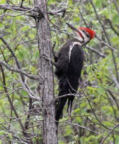 Pileated Woodpecker - Had one of these in the backyard this morning.  Pretty good size bird.