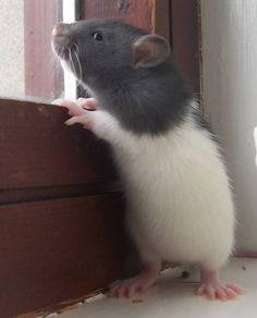 Baby rat!  Waiting for Mommy and Daddy to get home. :)