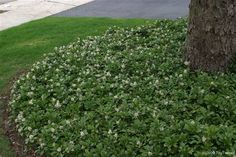 pachysandra, ground cover plant that loves shade and growing under trees. [Plant under my sugar maple. Plants That Love Shade, Shade Plants, Shade Trees, Garden Trees, Lawn And Garden, Outdoor Plants, Outdoor Gardens, Ground Cover Plants Shade, Plants Under Trees