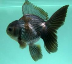 Blue oranda. I'd love to have one of these.