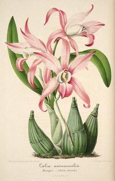v.1 (1854) - L'Illustration horticole : - Biodiversity Heritage Library