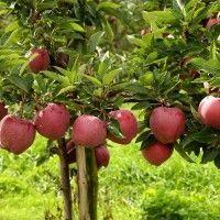 Apple, Fruit, Vegetables, Rustic, Decor, Garden, Agriculture, Plant, Apple Fruit