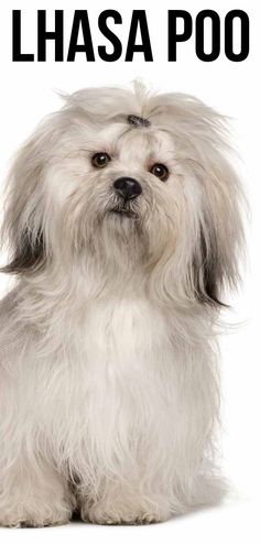 The Lhasa Poo is a cute combination of the lapdog Lhasa Apso and active Poodle. We take a look at what you can expect from this cute combination. Poodle Mix Breeds, Companion Dog, Lap Dogs, Lhasa Apso, Happy Puppy, Labradoodle, Mixed Breed, Poodles, Dog Design