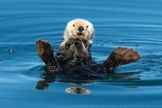 Blue Ocean Whale Watch - Blue whales, humpback whales, and loads of adorable sea otters on today's trip