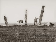 Moo!    an old photo of the prehistoric stone alignment at Gurranes, Co. Cork, Ireland