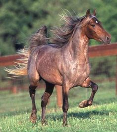 Classic's Shogun - roan silver dapple bay Rocky Mountain Horse. Other dilutions or traits can combine with silver gene.