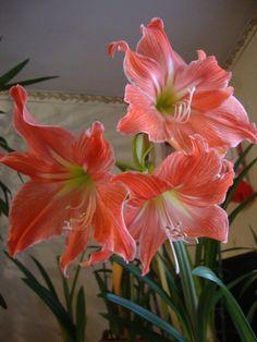 Amarillis, Album, Plants, Flowers, Plant, Planets, Card Book