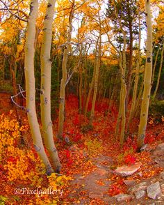 Aspen TreesOrange Leaves AutumnA Walk Through the by PixelGallery, $25.00