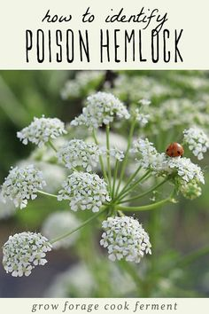 Herbal Medicine Poison hemlock is a highly toxic plant that every forager should know how to identify. Here are identification tips along with differences between poison hemlock and popular edible wild plants. Lynn Margulis, Organic Gardening, Gardening Tips, Flower Gardening, Vegetable Gardening, Pallet Gardening, Garden Pallet, Hydroponic Gardening, Indoor Gardening