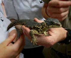 From Reptiles Central: I don't recall the name of this little dragon lizard, but its pretty cool regardless.
