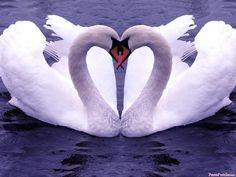 ★♥★ Heart in Nature – Swan Heart ★♥★ I Love them! … - - ★♥★ Heart in Nature – Swan Swan Love, Beautiful Swan, Beautiful Birds, Animals Beautiful, Cute Animals, Romantic Animals, Simply Beautiful, Beautiful Images, Beautiful Homes