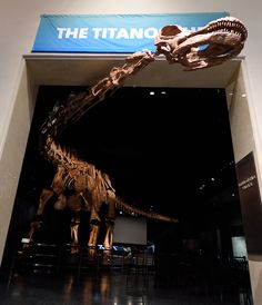 As the dinosaur goes on display in New York, here are a few reasons why the hefty herbivore is such a big deal.