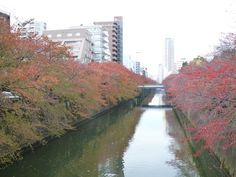 Nov.20,2016 Autumn red leaves along the Meguro gawa river.
