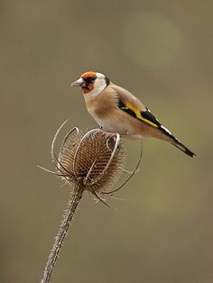 European goldfinches - I had 2 of these growing up (Whistler & Geronimo)