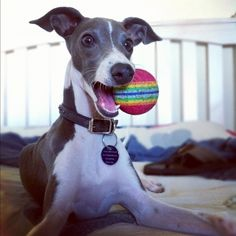 I Love Italian Greyhounds  ~~  This is the spitting image of my Zoe.    <3   ~~  I Love all animals though.