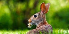 Free Image on Pixabay - Rabbit, Hare, Animal, Cute Raising Rabbits For Meat, Meat Rabbits, Shampoo Herbal, Clover Lawn, Rabbit Repellent, Hare Animal, Rabbit Eating, Wild Rabbit, Bunny Rabbit