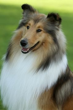 Collie smile. What a fluffy butt, I want you in my life!  I love Collies!  Had one when I was a kid and had 3 Shelties after she passed away.  Great loyal dog and friend.