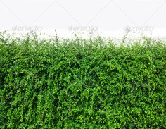 Bushes fence leaves green ...  background, bar, botany, branch, bush, close, close-up, closeup, fence, flora, foliage, frame, frond, green, group, growth, herb, isolated, leaf, life, line, lush, macro, natural, nature, object, outdoors, part, pattern, small, stem, summer, symbol, tag, tree, tropical, white