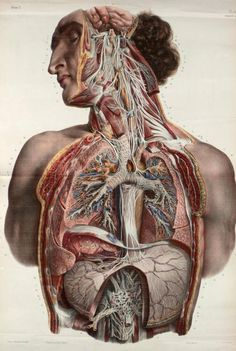 scienceyoucanlove: The autonomic nerves of the face, neck, thorax and abdomen, shown in situ. By Nicolas Henri Jacob from 'Traité complet de l'anatomie de l'homme' by Marc Jean Bourgery, 1831. from The Irregular Anatomist