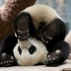 What's this guy up to?  #panda #baby #photooftheday #cute #petstagram #supercute #L4L #photooftheday #dogs #cat #love
