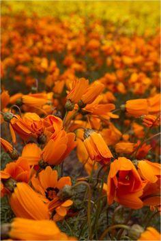 Namaqualand – South Africa's Daisy Sensation Western Coast, All Nature, South Africa, Daisy, Orange, Landscape, Plants, Photos, Perception