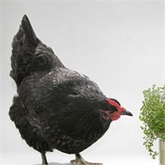 My chicken of choice :) Australorp: calm and friendly, and excellent layers of light brown eggs!