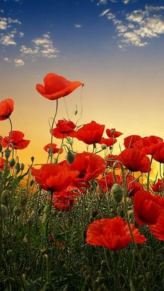 "Search Results for ""poppy field live wallpaper"" – Adorable Wallpapers Nature Tree, Flowers Nature, Beautiful Flowers, Flowers Pics, Beautiful Scenery, Nature Pictures, Beautiful Pictures, Amazing Pics, Flower Wallpaper"