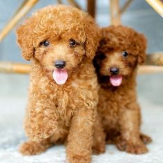 Say hi to Toy Poodles Cookie and Chocolate. little bundles of love
