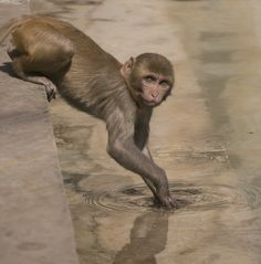 Monkey by the pool in Monkey Temple Jaipur India