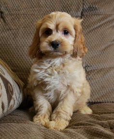 Cockapoo puppy - Looking so sweet!