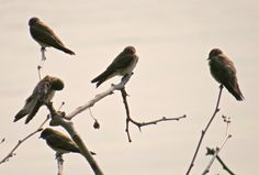 Northern Rough-winged Swallow (flock): 29 July 2014, Dyke Marsh Park. Alexandria, VA, party sunny, 65 degrees, breezy, 8:15 a.m., on dead branches over the tidal inlet near trail