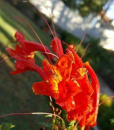 Blood Orange Honeysuckle