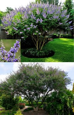 Chaste Tree (Vitex Agnus-Castus) - Zone 5-9 Full Sun 15'-25' Height/Width. With 'true blue' clusters of fragrant flowers (although they can also be pink, purple, or white) this deciduous multi-trunk (with winter pruning) tree is great as: Single specimen in the lawn, In a row along a property line or a driveway with lower plants growing beneath it, or Small patio tree. Well-drained soil, very drought tolerant once established. Thrives in heat. Attracts butterflies & bees.