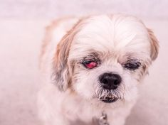 Cherry Eye In Dogs Small Door Veterinary Pug, Beagle Dog, Red Eyes Remedy, Cherry Eye In Dogs, Eyes Problems, Dog Eyes, Dog Treats, Small Dogs, The Cure