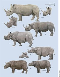 Toni Llobet's Rhinocerotidae plate from volume two of The Handbook of Mammals of the World series. The species are as they are followed: - Thylacinus cynocephalus