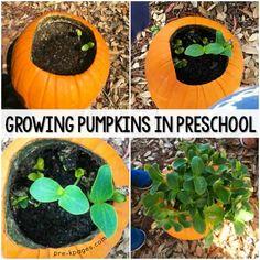 Planting pumpkin seeds inside a jack-o-lantern with preschool, pre-k, or kindergarten kids. Growing pumpkin seeds is a great science experiment! Grow Pumpkins From Seeds, Planting Pumpkin Seeds, When To Plant Pumpkins, Pumkin Seeds, Pumpkin Garden, Planting Seeds, Trees To Plant, Baby In Pumpkin, A Pumpkin