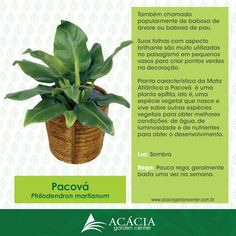 pacova-planta-filodendrum-como-cuidar-jardinagem-paisagismo-acacia-garden-center-horto-rj-chacara-ficha