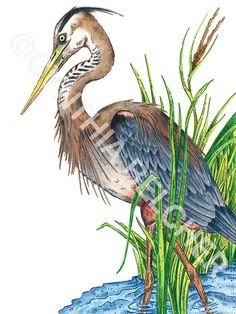 Love this color pencil drawing of a Great Blue Heron