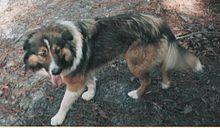 Old Time Farm Shepherd - United States - Rare breed - Working dog