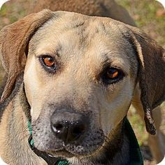 02/19/2017 SUPER URGENT Brooksville FL ADOPT OLIVER, TO BE DESTROYED, hound / Labrador? mix breed, brindle, large adult male, ID#10309406, neutered, up to date with shots, good with dogs, $50 to adopt, Hernando County Animal Shelter phone (352) 796-5062