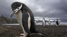 Научные открытия: ученые обнаружили гигантского пингвина – ровесника динозавров  https://joinfo.ua/inworld/1198597_Nauchnie-otkritiya-uchenie-obnaruzhili.html