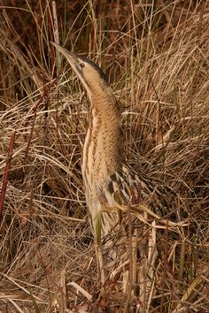 Camouflage - - The American Bittern (Botaurus lentiginosus) is protected under the United States Migratory Bird Treaty Act of 1918.