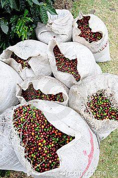 green coffee in Costa Rica