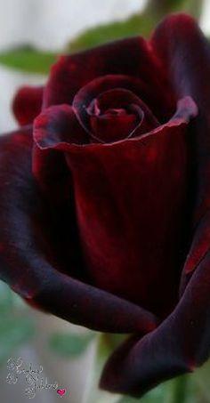 Frivolous Fabulous - Gorgeous Roses