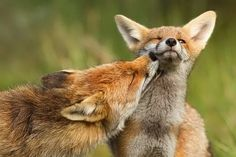 Fox in love pictures Roselyne Raymond