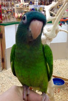 Blue Crowned conure....looks like my BOBO. sure do miss him. :(